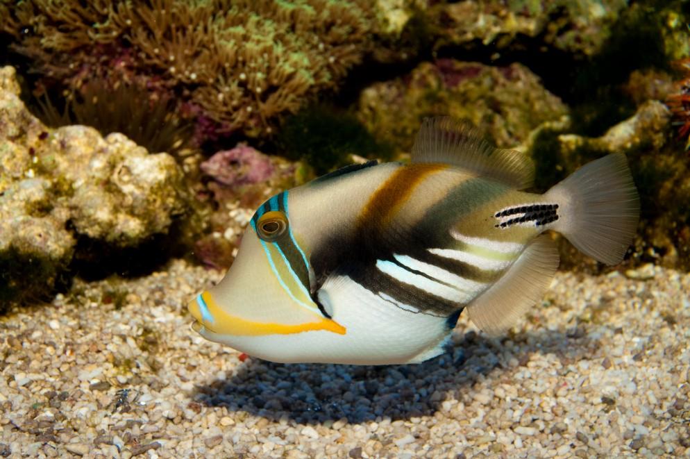 humuhumu picasso trigger fish