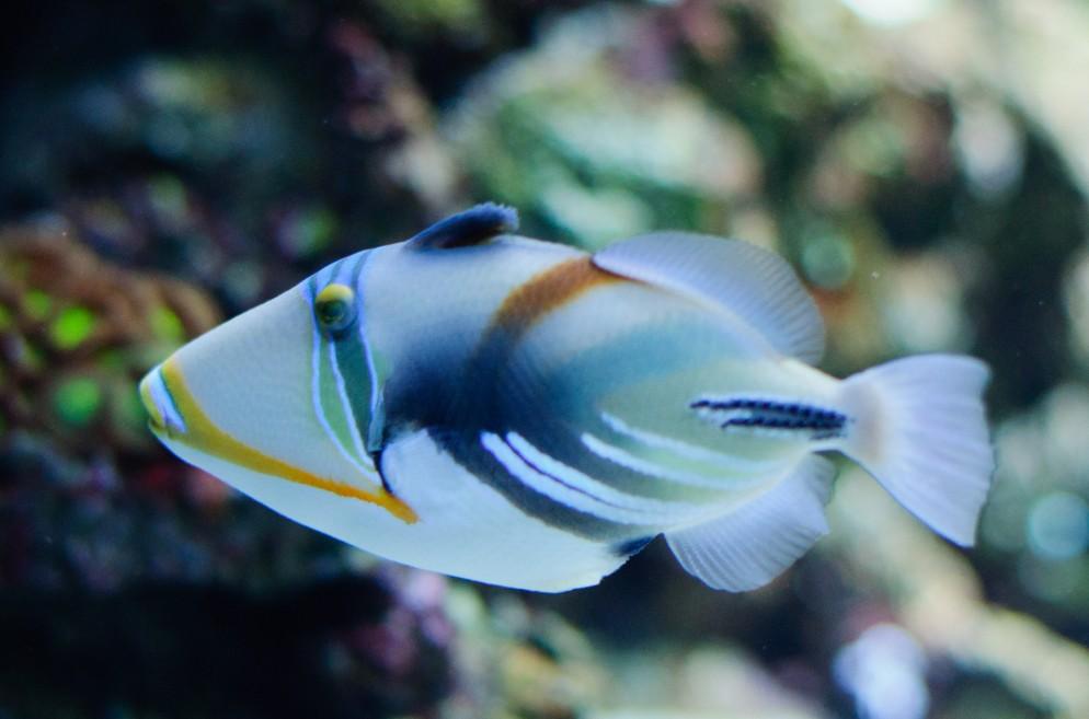 Humuhumu Triggerfish
