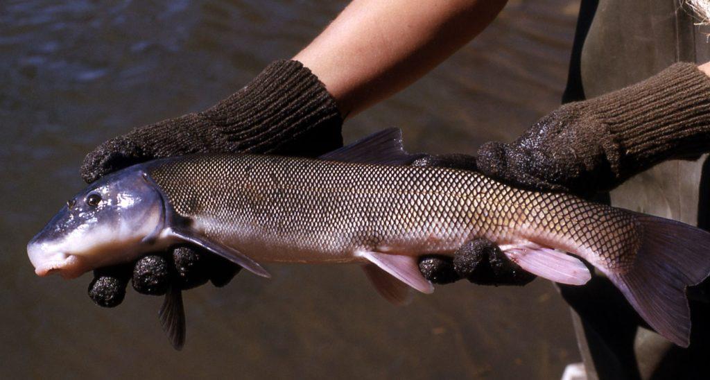 mountain sucker fish
