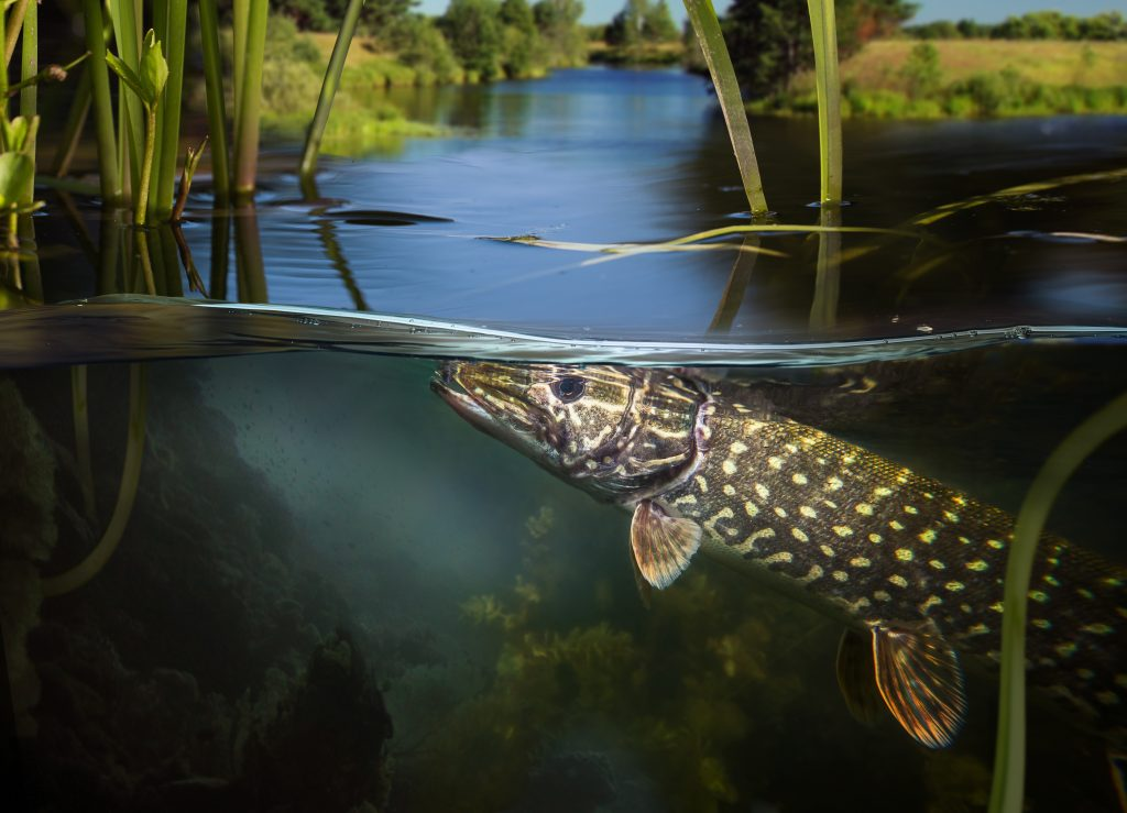 fishing for pike - how to catch pike