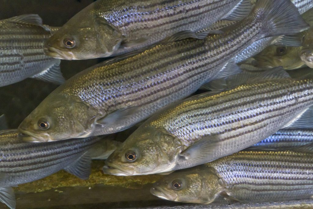 striped bass season fishing tips