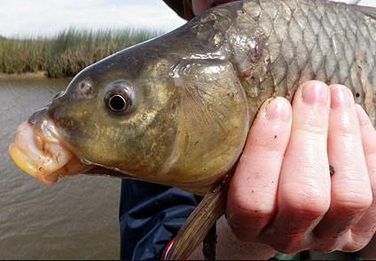 sucker fish