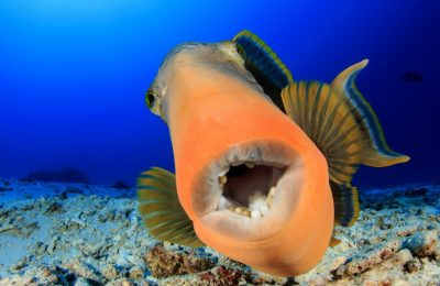 triggerfish teeth